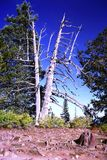 A split Bristlecone Pine tree. In Cedar Breaks National Monument are, UTAH, USA.. Was it lightning or a natural split Stock Images