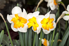 Split-corona Daffodil (Narcissus sp) Royalty Free Stock Images