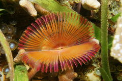 Split crown feather duster worm Anamobaea oerstedi Stock Photo