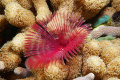 Split-crown feather duster worm and finger coral Royalty Free Stock Image