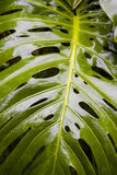 Split Leaf Philodendron. Reflects sunlight after a heavy rain stock photos