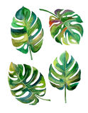 Split Leaf Philodendron  watercolor on white background vector Stock Photography