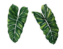 Split Leaf Philodendron  watercolor on white background vector Royalty Free Stock Photo