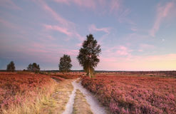 Split path at sunset and heather flowers. Wilsede, Germany royalty free stock photos