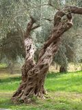 Split Personality- Olive Tree in Italy royalty free stock images