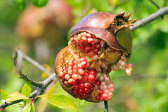 Split Pomegranate Stock Photography