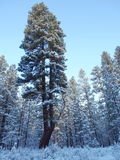 Split ponderosa pine in winter Stock Photos
