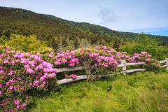 Split Rail Fence with Rhododendrons Stock Images