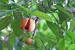 Ripe and Split Nutmeg in Plant Royalty Free Stock Image
