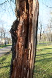Split tree. Hit by lightning viewed by the ground royalty free stock photography