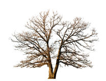 Split tree Royalty Free Stock Photography