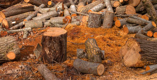 Split tree trunks, lying in the forest. Woodworking industry. Trunks of trees fell to the ground around the tree. Stock Photography