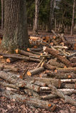 Split tree trunks, lying in the forest. Woodworking industry. Trunks of trees fell to the ground around the tree. Stock Photos