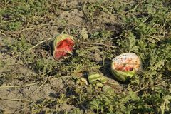 Split in two an old rotten watermelon. Rotten watermelons. Remains of the harvest of melons. Rotting vegetables on the field. Split in two an old rotten Royalty Free Stock Image