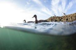 Split View of Ducks Stock Images