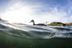 Split View of Ducks Royalty Free Stock Images