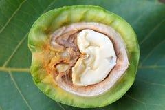 Split walnut Royalty Free Stock Photo