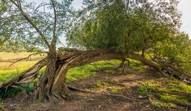 Split willow tree. Just grows after falling down royalty free stock photos