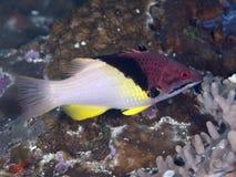 Splitlevel hogfish Stock Afbeeldingen