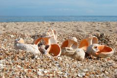 Splitting seashell Stock Image