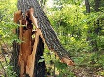 Splittrat träd från storm Royaltyfri Foto