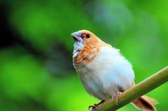 Społeczeństwa Finch ptak umieszczający na gałąź zdjęcia stock