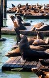 spoczynkowe foki Zdjęcie Royalty Free
