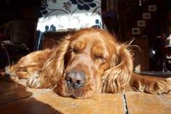 Spoczynkowy pies Zdjęcia Stock
