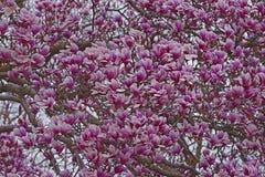 Spodeczek magnolii drzewo w okwitnięciu zdjęcia stock