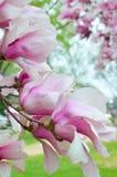 Spodeczek magnolii kwiaty Zdjęcie Stock
