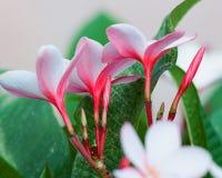 Spody Mała wiązka światło - różowy Plumeria zdjęcia royalty free