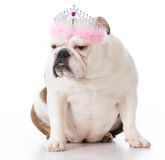 spoiled-bad-dog-sour-expression-wearing-tiar-white-background-77971234 ...