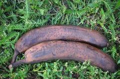 Spoiled bananas Stock Image
