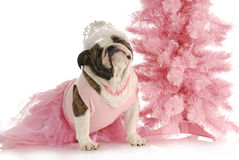 Spoiled dog. English bulldog dressed like a princess in pink with tiara on white background Royalty Free Stock Photo