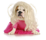 Spoiled dog Stock Photography