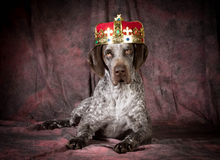 Spoiled dog. German shorthaired pointer wearing a crown on purple background Royalty Free Stock Images