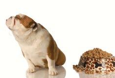 Spoiled dog. English bulldog turning nose up at full dish of food Royalty Free Stock Images