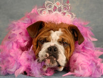 Spoiled dog. English bulldog dressed up with tiara and pink boa Stock Photography