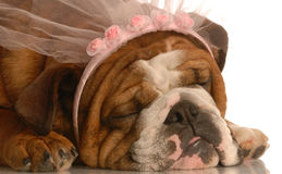 Spoiled dog Royalty Free Stock Photography