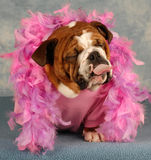 Spoiled dog with attitude. Spoiled dog with pink boa and tongue sticking out Stock Photo