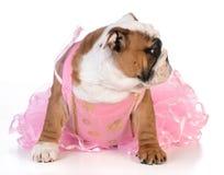 Spoiled dog Royalty Free Stock Image