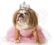 Spoiled dog Royalty Free Stock Photo