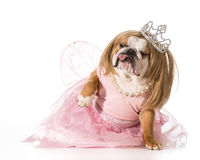 Spoiled dog Stock Images