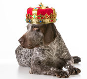 Spoiled dog Royalty Free Stock Photos