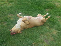 Spoiled Dog Stock Photo