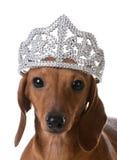 Spoiled dog Stock Image