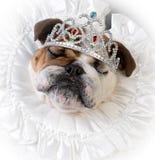 Spoiled female dog Stock Images