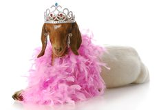 Spoiled goat doe royalty free stock photos