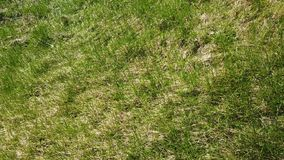Spoiled lawn after winter. How moles spoil the lawn stock video
