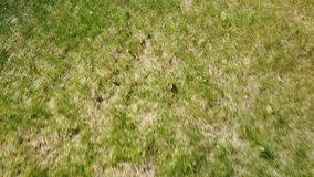 Spoiled lawn after winter. How moles spoil the lawn stock video footage